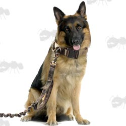 Sitting German Shepherd with Heavy-Duty Collar and Lead